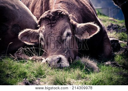 Sleepy Cow Observing with a Jaded Eye