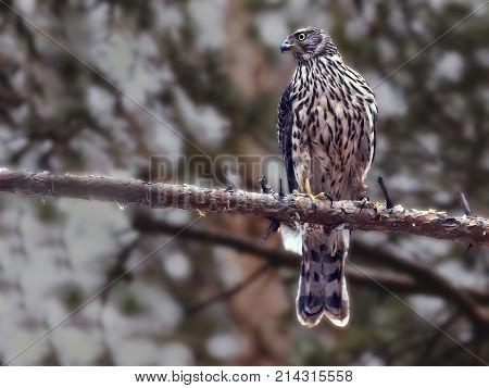 Hawk Sitting On The Spruce Branch