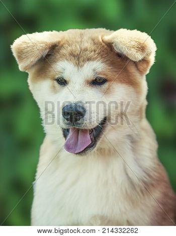 Close Up On Akita Inu Puppy Purebreed Dog Face