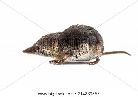 Cute Common Shrew On White Background