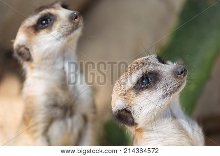 The meerkat or suricate Suricata suricatta is a small carnivoran belonging to the mongoose family. Two animals is looking. Focus on the foreground suricate.