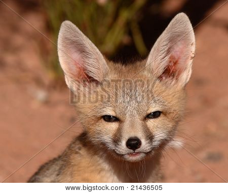 A young Kit Fox puppy giving a suspicious look outside of it's den in Utah poster