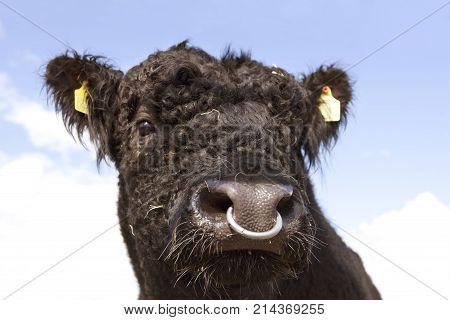 Head of a black galloway bull with nose ring