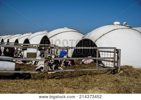 Row of Calf Houses on dairy farm, Livestock stable boxes in bubble form, newborn young cows