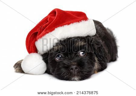 Close-up of a cute black and tan Havanese puppy dog in Santa hat - Isolated on a white background