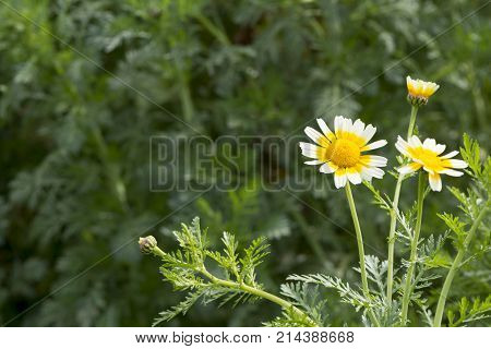 Glebonis Coronaria Chrysanthemums - White And Yellow Daisies