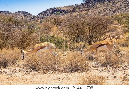 A female springbok with her sub adult male offspring in Augrabies Falls National Park in South Africa.