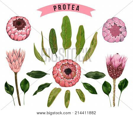 Protea flowers, buds and leaves. Collection decorative floral design elements for wedding invitations and birthday cards. Isolated elements. Vintage hand drawn vector illustration in watercolor style.