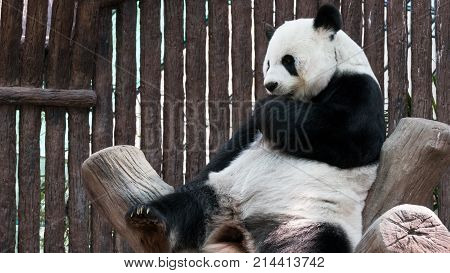 giant panda bear. Ailuropoda melanoleuca. animal from china