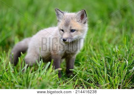 Close up fox cub in summer grass