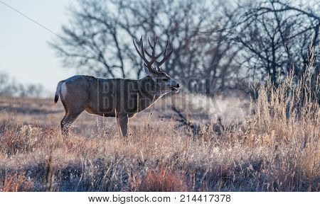 A Large Mule Deer Buck Showing its Breath on a Frigid Colorado Morning