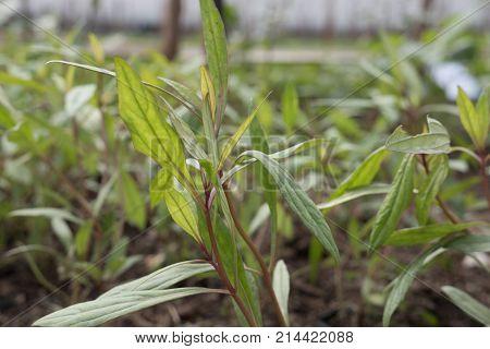 Justicia Gendarussa Linn. Plant And Herb Has Medicinal Properties