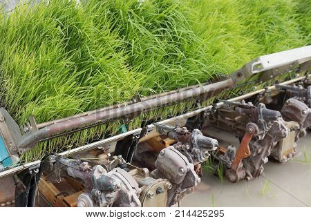 Rice Planting Machine. Transplant Rice Seedling On Paddy Field By Transplanter.