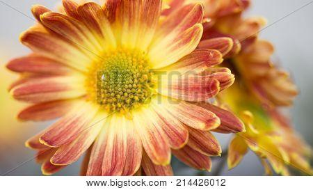 orange and pink chrysanthemums. Chrysanthemum wallpaper, chrysanthemums in autumn. Beautiful chrysanthemum as background picture.