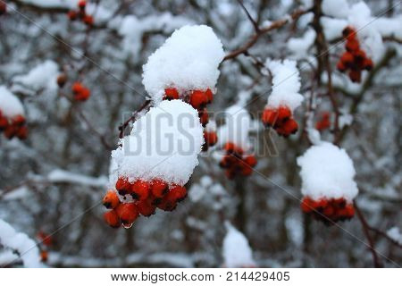 Hawthorn berries in the winter. Red berries in the cold. Frozen berries. Clusters of hawthorn in the wind. Red berries of hawthorn against the sky. The hawthorn bushes in winter. Snow-covered berries. Snow caps