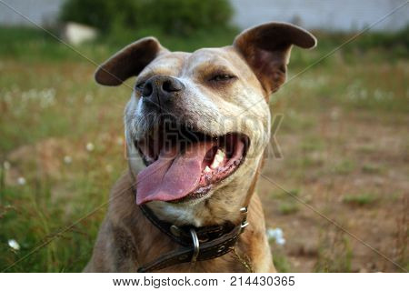Smiling pitbull dog. Domestic animals and pets