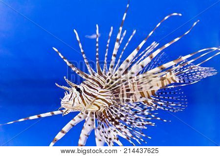 One large pterois volitans fish with spikes and stripes in blue salt water
