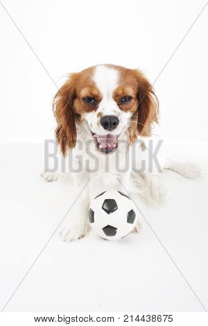 Dog with toy ball. Cavalier king charles spaniel dog puppy with toy soccer ball soft little football on white studio background. Cute puppy photo for every conceptBeautiful friendly cavalier king charles spaniel dog. Purebred canine trained dog puppy. Ble