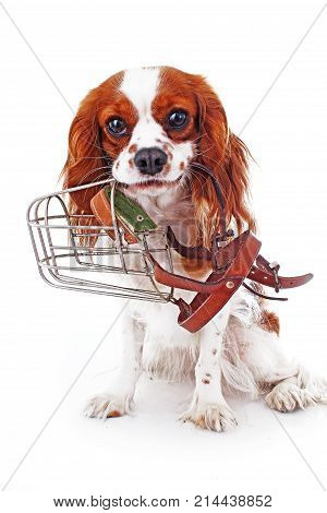 Dog with muzzle. Avoid bite snapper dogs. Cavalier king charles spaniel dog photo. Beautiful cute cavalier puppy dog on isolated white studio background. Trained pet photos for every concept. Photo.