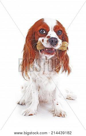 Dog with bone. Cute cavalier king charles spaniel dog on isolated white background. Dog snack photo.. Bone treat treats. Photo.