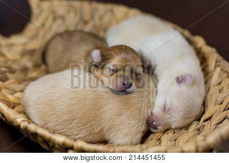 Newborn puppy of Spitz Pomeranian. Babies in baskets.