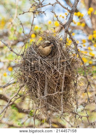 A White-Browed Sparrow-Weaver looks out of its nest in the Kgalagadi Transfrontier Park straddling South Africa and Botswana.