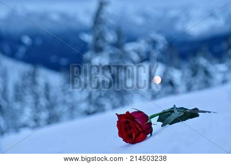 Red rose in snow. In a memory of the loved ones. Mountains after a heavy snowfall. Mount Hood. Portland. Oregon. United States.