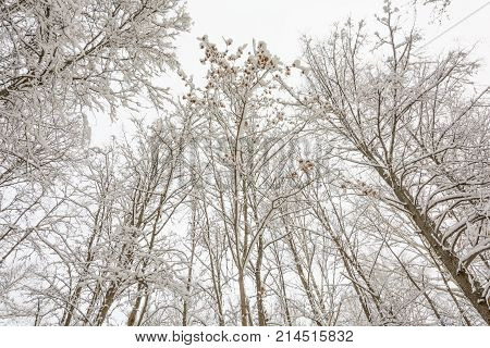 Nature Winter Forest Grove Trees in the snow Cold Maple Branch Maple Seeds