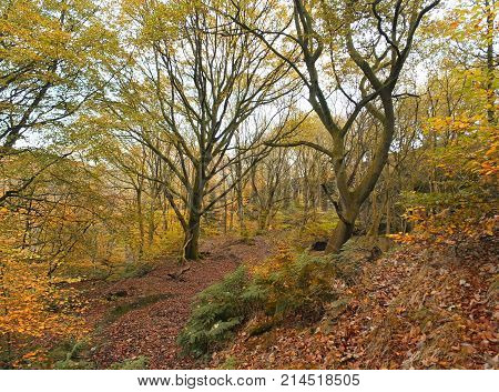 late autumn beech forest with golden leaf colours and fallen leaves along the hillside path in west yorkshire england near hebden bridge