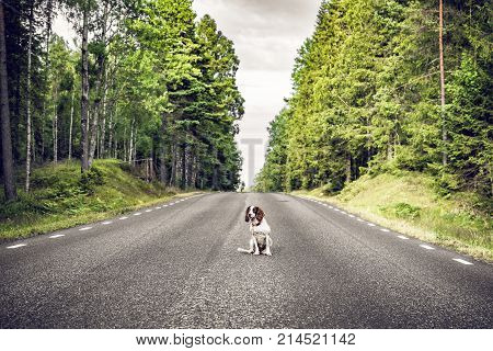 Dog sitting in the middle of the road in a forest highway surrounded by tall trees