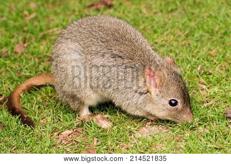 Small rodent sniffing around a grassy field