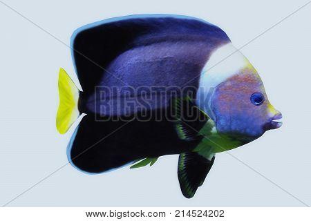 Black Velvet Angelfish 3d illustration - The Black Velvet Angelfish is a saltwater species reef fish in tropical regions of major oceans.
