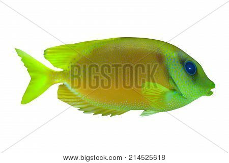 Lemonpeel Angelfish 3d illustration - The Lemonpeel Angelfish is a saltwater species reef fish in tropical regions of Indo-Pacific oceans.