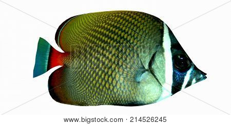Redtail Butterflyfish 3d illustration - The Redtail Butterflyfish is a saltwater species reef fish in tropical regions of Indo-Pacific oceans.