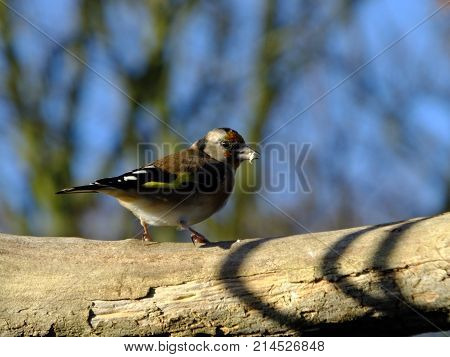 Goldfinch perched on an old dead tree branch