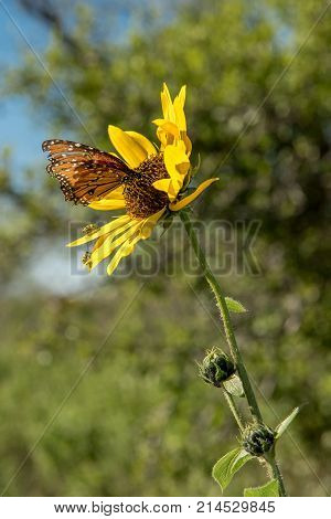 Butterfly with tattered wings and ladybugs in the bright sun on a natural yellow flower with gangly petals