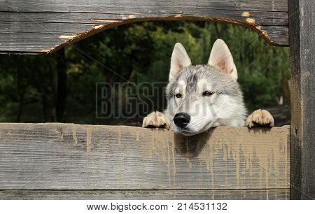 Pet and animal Siberian husky dog year. Year of dog holiday celebration. New year christmas xmas. Husky or wolf at wooden background copy space. Zoo shelter farm or captivity.