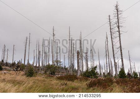 Bald trees on Dreisesselberg after bark beetle infestation -