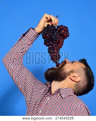 Farmer Shows Harvest. Man With Beard Puts Grapes Into Mouth