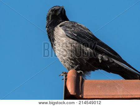 A Carrion Crow Sitting On A Rooftop