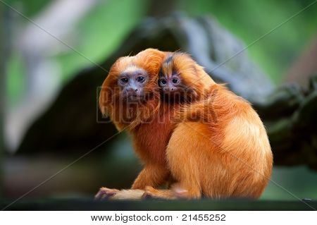 Golden Lion Tamarin With Baby