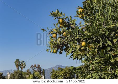 Mature California orange hanging on the tree with San Gabriel Mountains as background at Temple City California United States