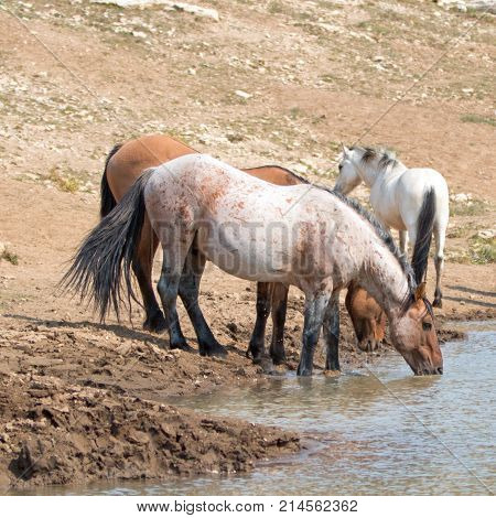 Red Roan Wild Horse Stallion Drinking Water At The Waterhole With Herd Of Wild Horses In The Pryor M