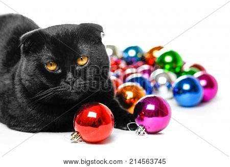 Black Scottish fold cat and Christmas toys. On the background of many Christmas balls. Lot of Christmas decorations. Colored glass balls. Isolated on white background.