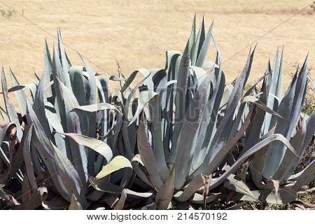 American Aloe (agave Americana) As Field Fence.