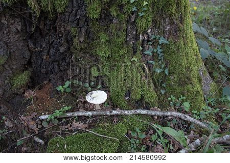 The old oak tree covered with a moss in the autumn wood with Mushrooms a ground. Forest background