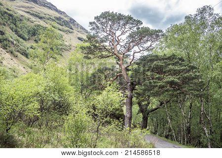 SIngle Scots Pine close to a single track road in Glen Nevis, Lochaber, Scotland