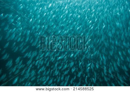 Shoal of many Fusilier Fishes are underwater