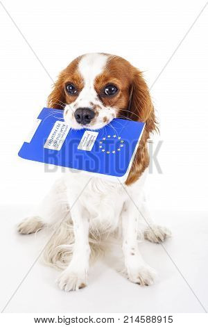 Dog with pet passport immigrating or ready for a vacation. King Charles spaniel carry animal id passport. Dog passport concept isolated on white background. Cavalier spaniel studio photo illustration. Photo.