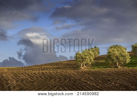 Between Apulia and Basilicata: hilly landscape with olive grove on plowed land dominated by clouds, Italy. Typical Italian agriculture farmland with rows of olive trees that create evocative shadows.